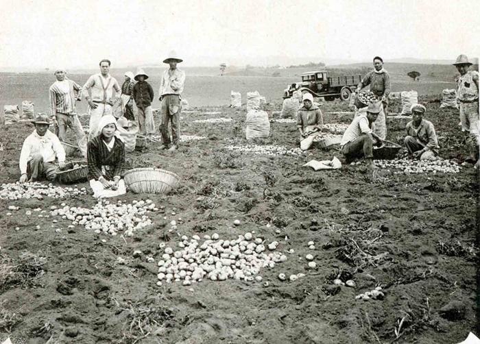 O cultivo de batata começou em Cotia e outras áreas nos arredores de São Paulo (foto: Acervo do Museu Histórico da Imigração Japonesa no Brasil)